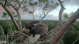 Samson is very proud of the tree trunk he brought for the nest. 10-25-19