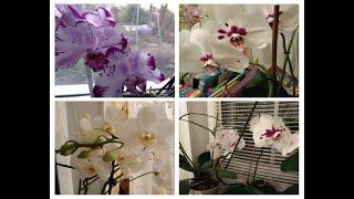 Фаленопсисы/как я поливаю орхидеи/домашние дела)))