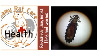 Rat Parasites: mites, lice , fleas and worms