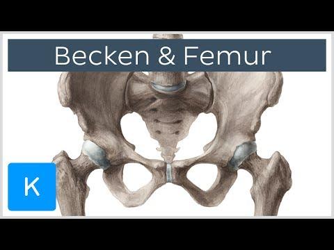 Becken und Femur - Knochen - Anatomie des Menschen | Kenhub