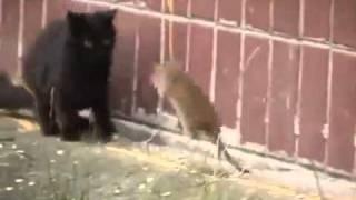 Сумасшедшая крыса разогнала 3 котов !
