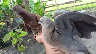 "FEEDING BIRDS | GENTLE RED COLLARED DOVE ""TUKMOL"""