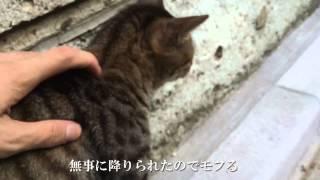 塀の上から野良子猫に呼び止められたのでモフってみた Stroking He Brown Tabby Kitten