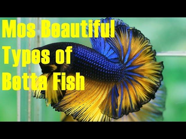 Most Beautiful Betta Fish for Aquarium Tank