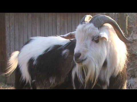 , title : 'Fainting Goats | The Original Vapors