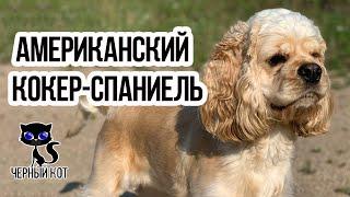 ✔ Американский кокер-спаниель – дружелюбная собака, полная оптимизма. Описание породы