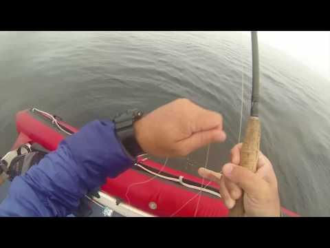 Pesca con Mosca en el Mar - Seriolas Lalandi, Pescado Furioso, Iquique - Chile.