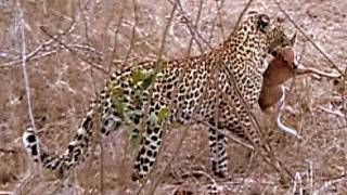 INCREDIBLE LEOPARD SIGHTING | South African Wildlife