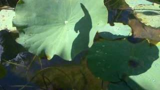 preview picture of video 'Hydrophobic leaves at Jardin Pamplemouses in Mauritius'