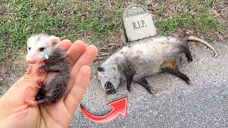 BABY OPOSSUM FOUND SICK & ORPHANED ! WHAT NOW ?!