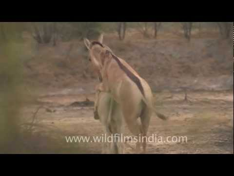Indian wild Asses mating!
