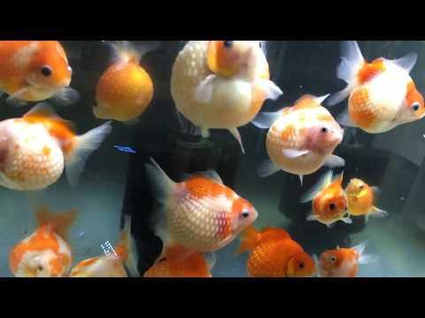 ピンポンパール 大集合(^^♪ goldfish
