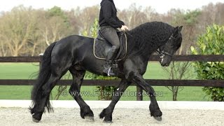 Friesian Dressage Horse Floris