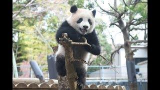 ジャイアントパンダのシャンシャン266日齢の映像