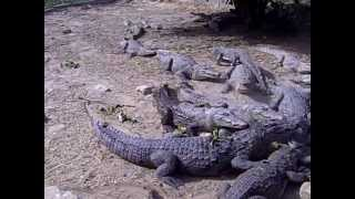 preview picture of video 'casamance senegal (crocodile )'