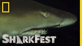Ragged Tooth Sharks After Dark | SharkFest