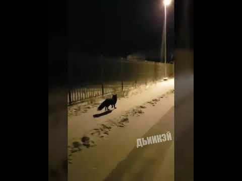 Видеофакт: По улицам Якутска бегает чернобурая лиса