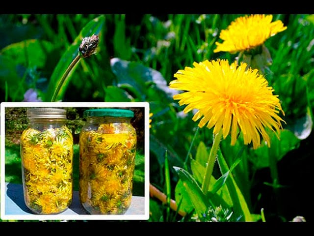 Benefits of Dandelions
