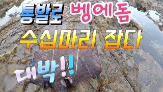 Trap Opaleye rock fishing