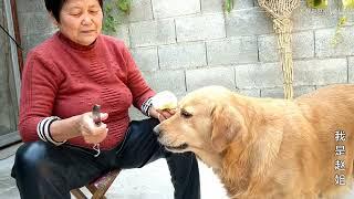 金毛狗狗想吃蘋果,還叼來水果刀讓農村媽媽削皮,簡直要成精了【我是趙姐】