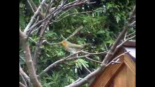 Garden Birds, Robin on windy branch