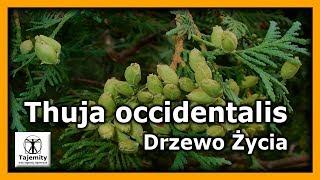 Thuja occidentalis – Drzewo Życia