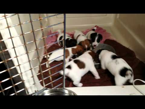 Huzzaz Jack Russell Terrier Puppies For Sale In Dallas Texas