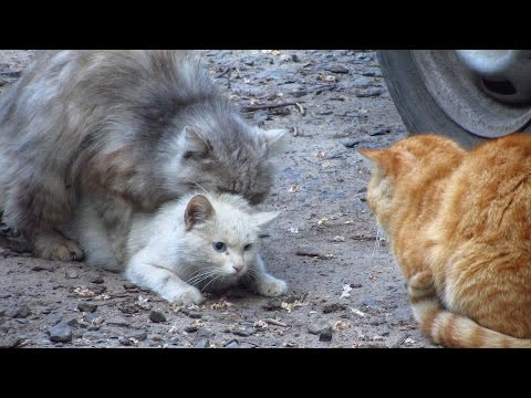 , title : 'Cats mating - Group cats mating on the street