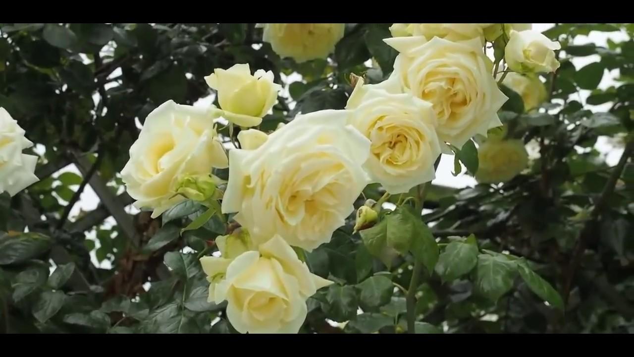 Rose Elfe (Эльф роза)