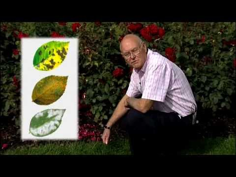 Video How to control pest and diseases on rose plants