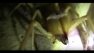 Camel Spider in Iraq 2011