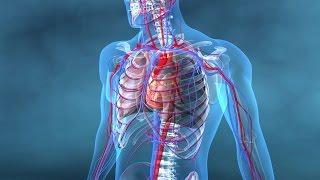 Au coeur des organes : Coeur et vaisseaux
