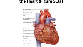 5.3 The Heart is a Double Pump