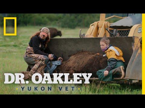 Relocating a Bullied Bison | Dr. Oakley, Yukon Vet