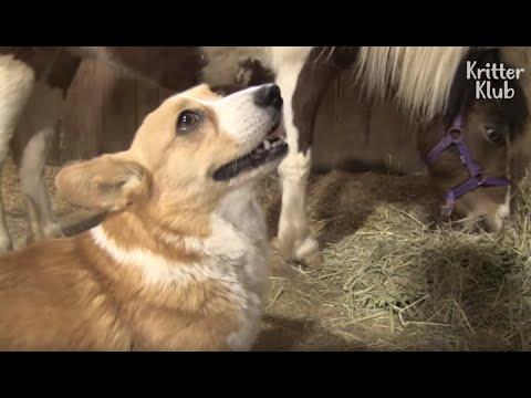 Corgi Herding Dog Even Scolds Mischievous Horse (Part 1) | Kritter Klub