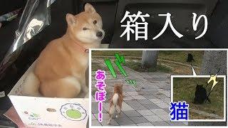 柴犬小春 クロネコに遊んでほしい箱入り娘!六甲アイランド南公園