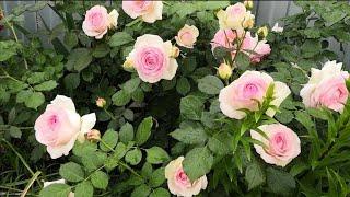 Красота роз после дождя????????️ Pierre de Ronsard, Geoff Hamilton, Claire Austin