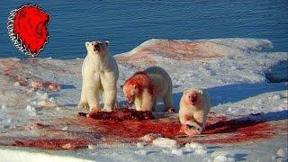 Oso Polar y Ballenas Asesinas (National Geographic)