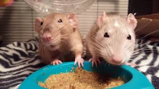 Two Pet Rats Fight Over Food Bowl - 988297