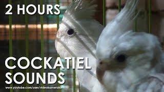 WHITE FACED COCKATIEL SOUNDS (HQ Audio) - Male & Female Cockatiels