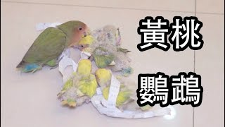【Whale】檸檬味?芒果味?還是香蕉味?—新一窩鸚鵡出生