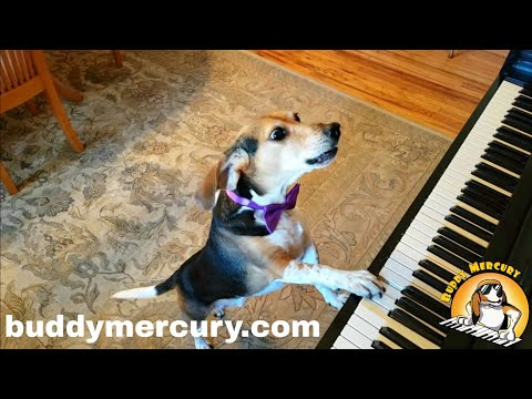 My name is Buddy Mercury!! Singing Piano Dog Sensation!!
