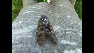 アブラゼミの鳴き声Cicadassong