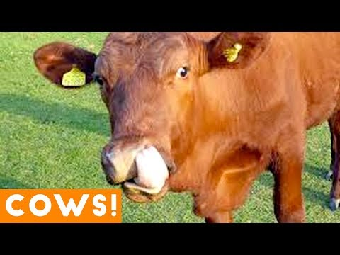 , title : 'Funniest Cow Compilation September 2018 | Funny Pet Videos