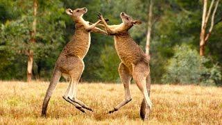 Смотреть онлайн Фильм о чудесных животных: кенгуру