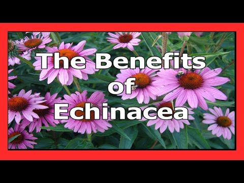 The Benefits of Echinacea A powerful immune booster