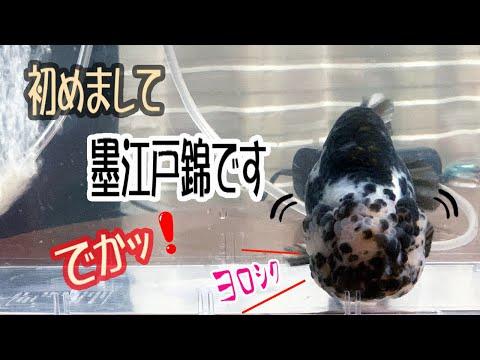 【金魚】60cm水槽に更紗らんちう、五色江戸錦そして墨江戸錦お迎えしました。でかッ!