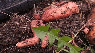 Выращивание батата, сладкого картофеля