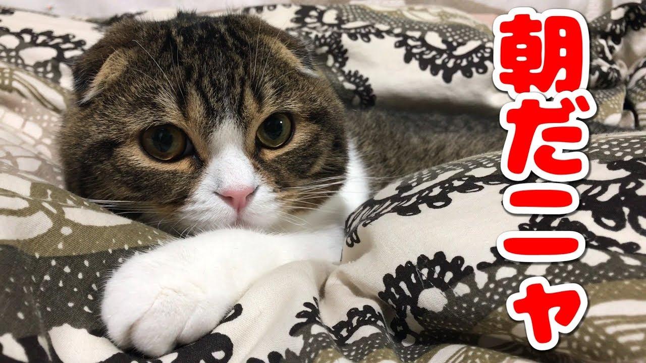 朝から優雅な猫【スコティッシュフォールド】【Scottish Fold】