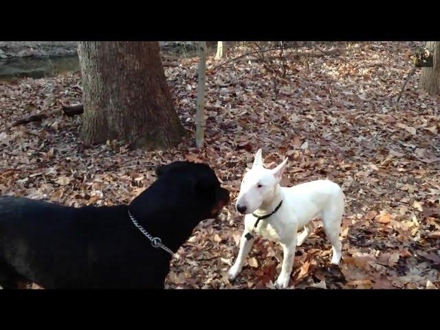 Bull-terrier-vs-rottweiler-stand